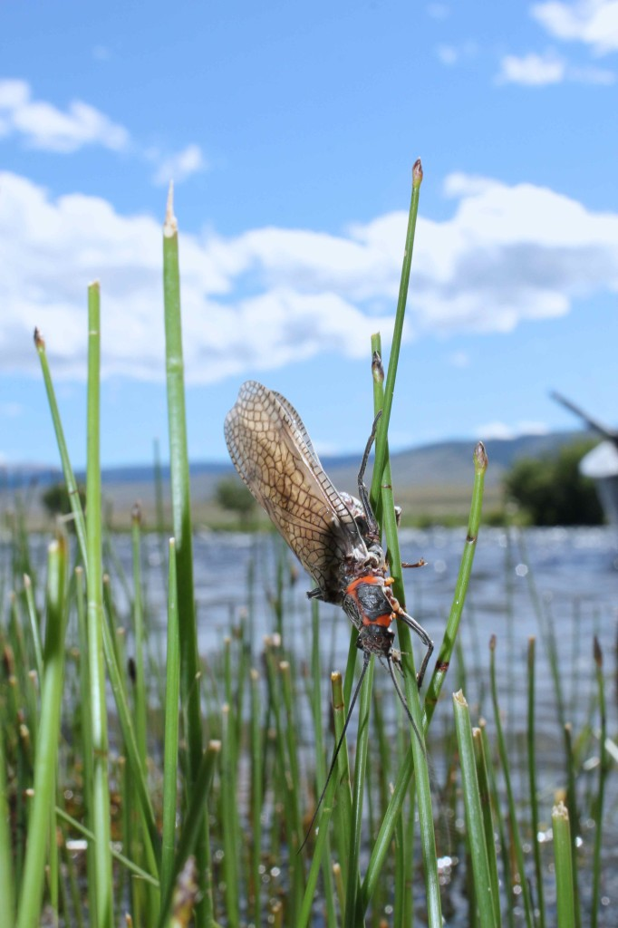 Salmon Fly Scaling Horsetails